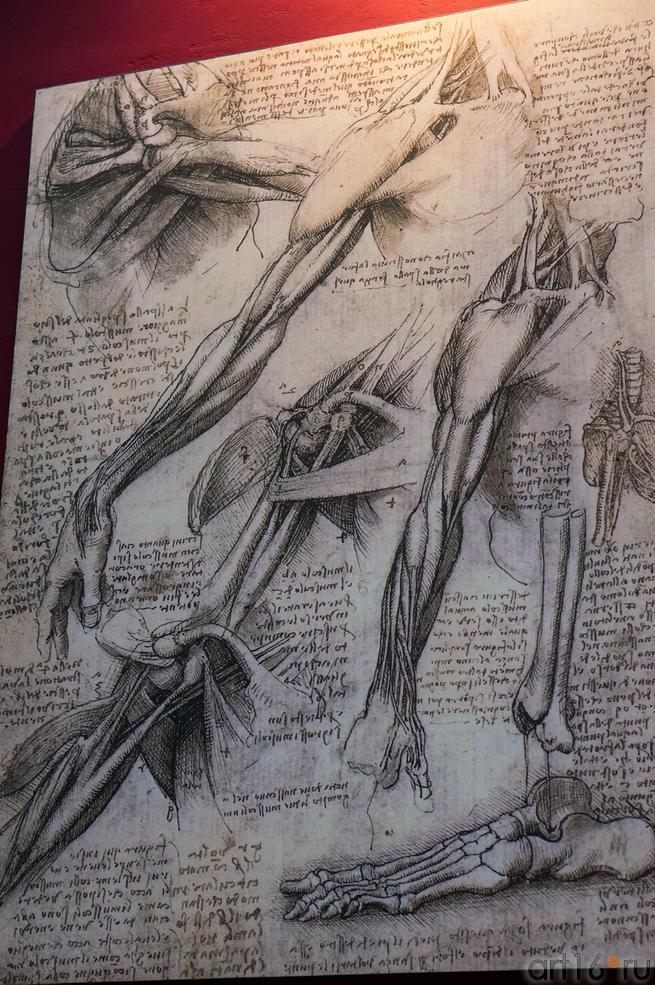 Фото №115198. Анатомический рисунок да Винчи