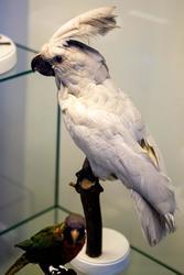 Какаду белый. Место обитания — Австралия, Новая Гвинея