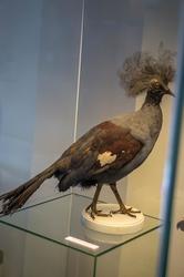 Венценосный голубь Виктории. Место обитания — Новая Гвинея