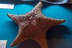 Звезда морская - Ореастер сетчатый. Индийский океан, побережье о.Мадагаскар