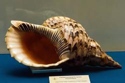 Раковина моллюска Рог тритона
