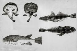 Рисунки В.Г.Тилезиуса