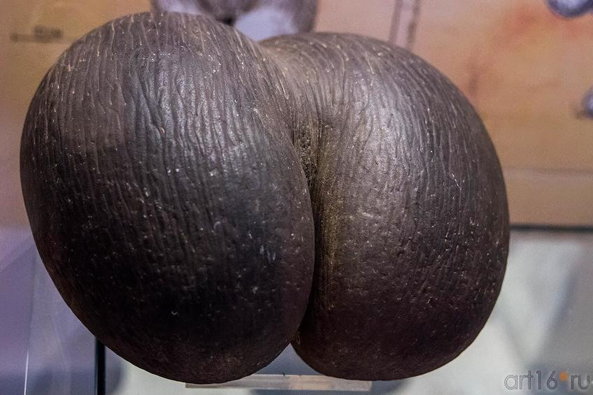 Фото №119784. Орех сейшельской пальмы