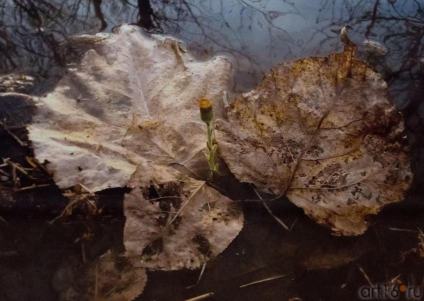 Фото №150545. Фото А.Сайфутдинова. Первоцвет