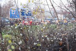 Обочины многих дорог украшены такими растениям с цветками похожими на пеноласт