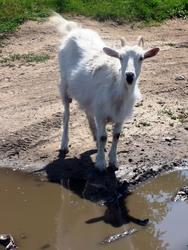 Булгарский козёл (а может и коза)