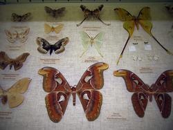 Витрина с бабочками. На переднем плане самка и самец