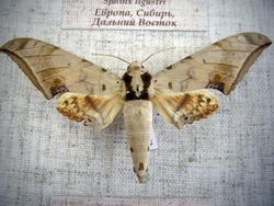 Ambulyx interplacida