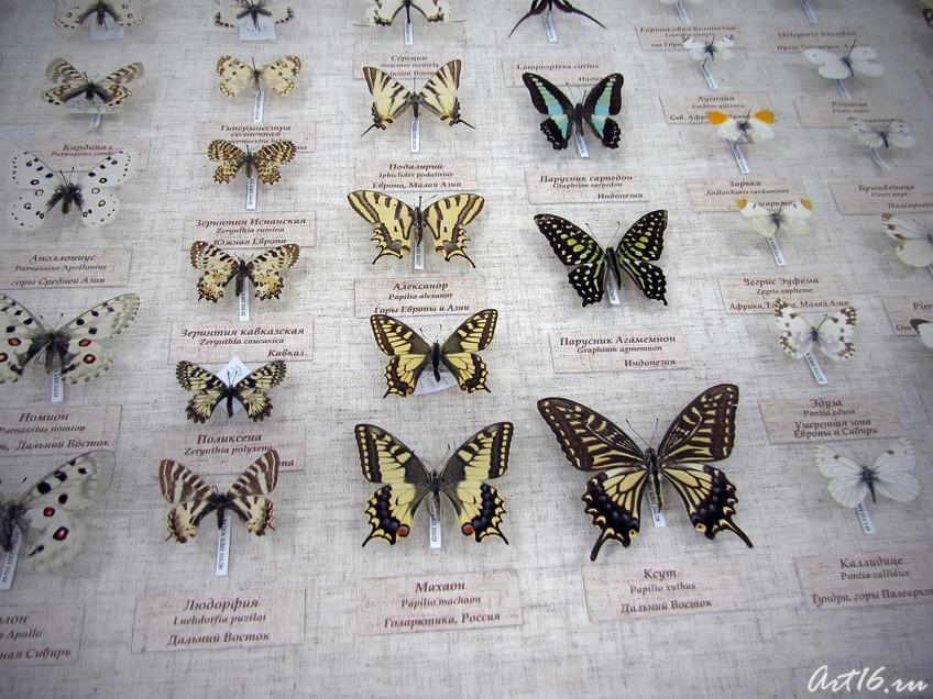 Фото №40711. Витрина с бабочками из коллекции