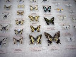 Витрина с бабочками из коллекции