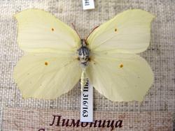 Лимоница