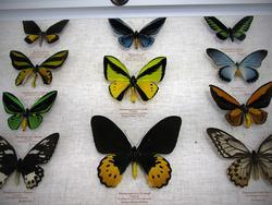 Фрагмент коллекции бабочек
