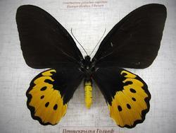Птицекрылка Голиаф (самка)
