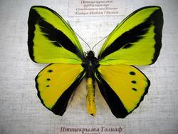 Птицекрылка Голиаф (самец)