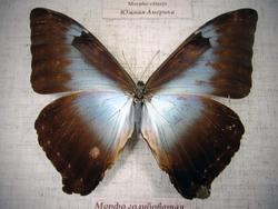 Морфо голубоватая