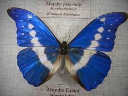 Морфо Елена