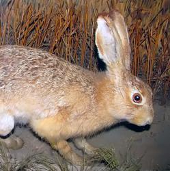 Заяц-русак — обитает в лесостепных р-нах,