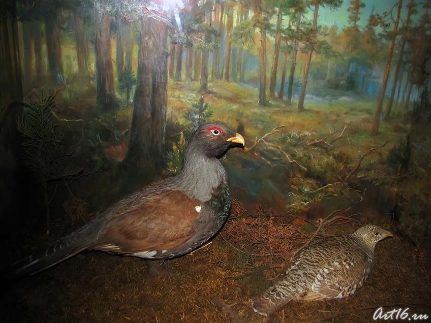 Фото №42289. Глухари — обитают в хвойных и широколиственных лесах