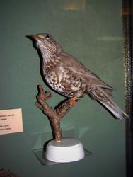 Деряба — перелетная птица