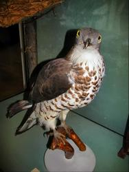Обыкновенный осоед — перелетная птица.