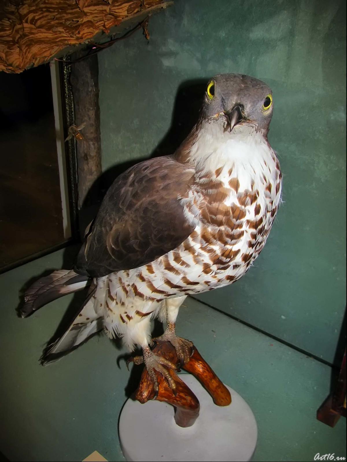 Фото №42314. Обыкновенный осоед — перелетная птица.