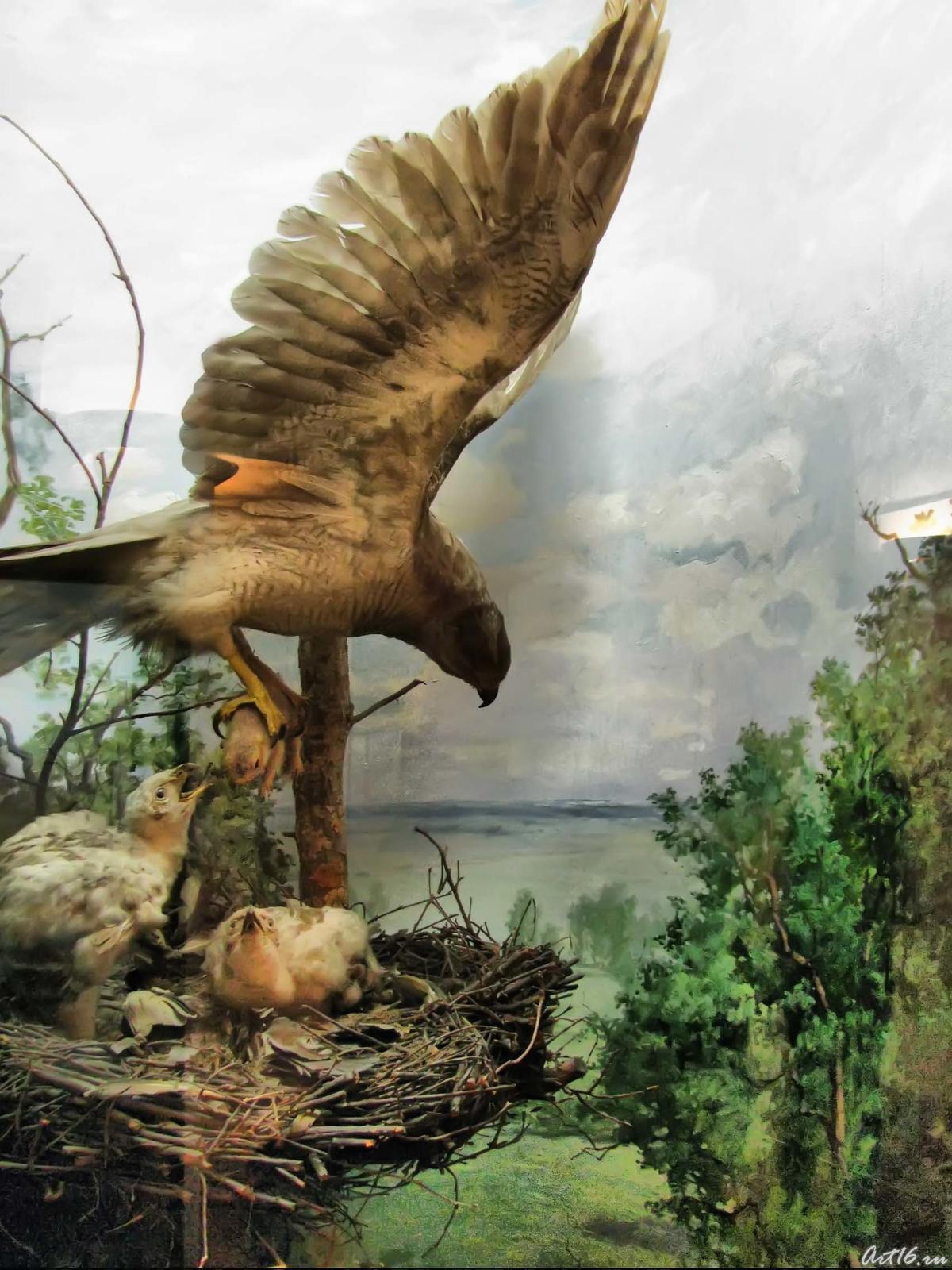 Фото №42324. Тетеревятник с птенцами