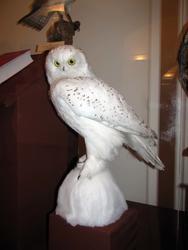 Белая сова. Редкий вид, численность которого продолжает сокращаться