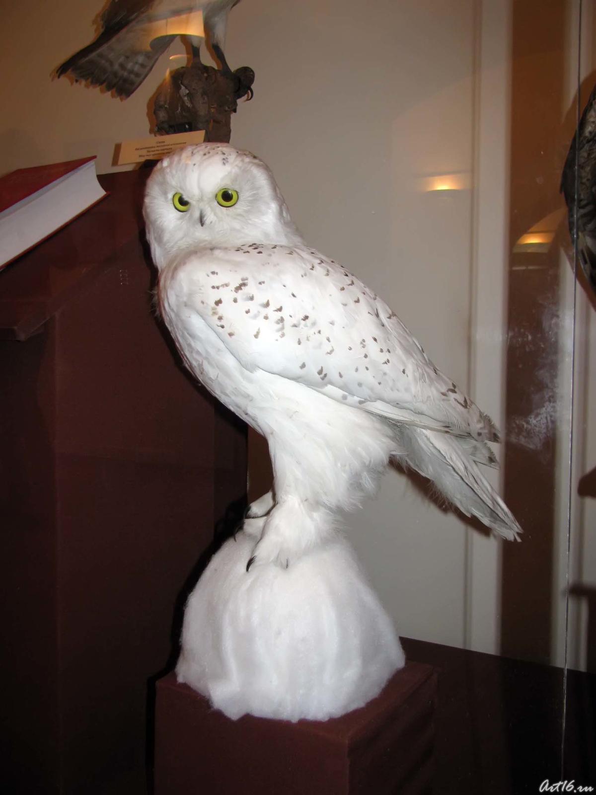 Фото №42369. Белая сова. Редкий вид, численность которого продолжает сокращаться