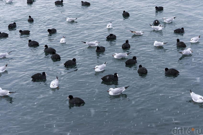 Чайки и Гагары (наверное) на водной глади. Черное море. Ялта
