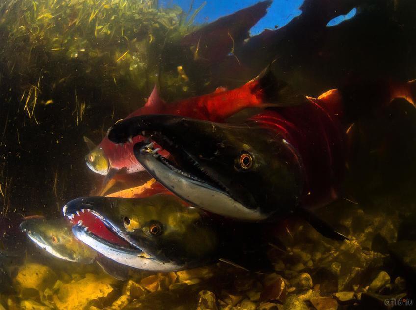 Фото №798581. Нерест красной рыбы. Сергей Шанин (Москва), 3-е место в номинации «Подводная съемка»
