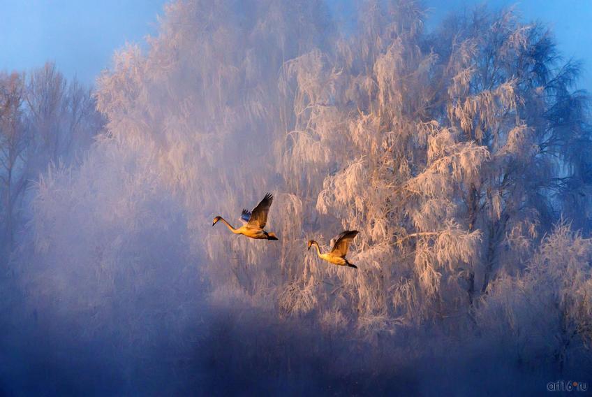 Фото №798605. Лебеди в тумане. Закир Умаров (Новосибирск), победитель в ном. «Птицы»