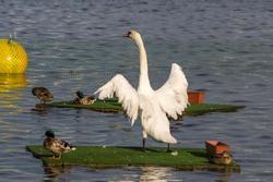 Лебеди на озере Кабан. Казань 2015