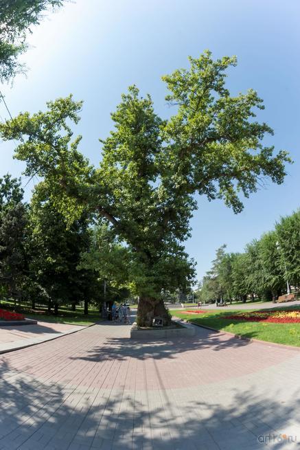 То́поль на пло́щади Па́вших борцо́в — исторический и природный памятник Волгограда::Волгогорад. 2015