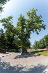 То́поль на пло́щади Па́вших борцо́в — исторический и природный памятник Волгограда