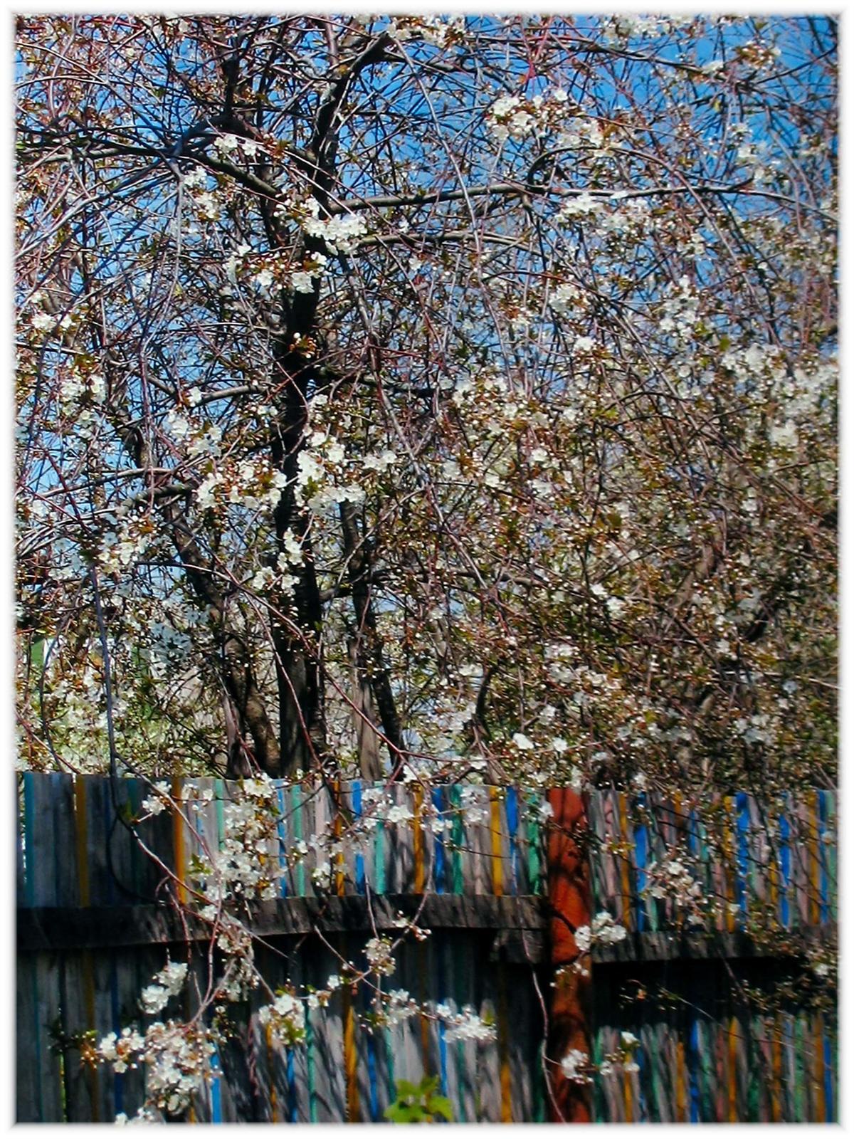 Фото №55313. 18. Вишневый сад