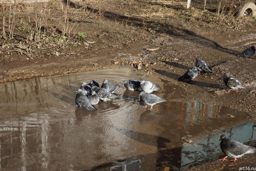 Фото №897553. Весна. Купание голубей в луже