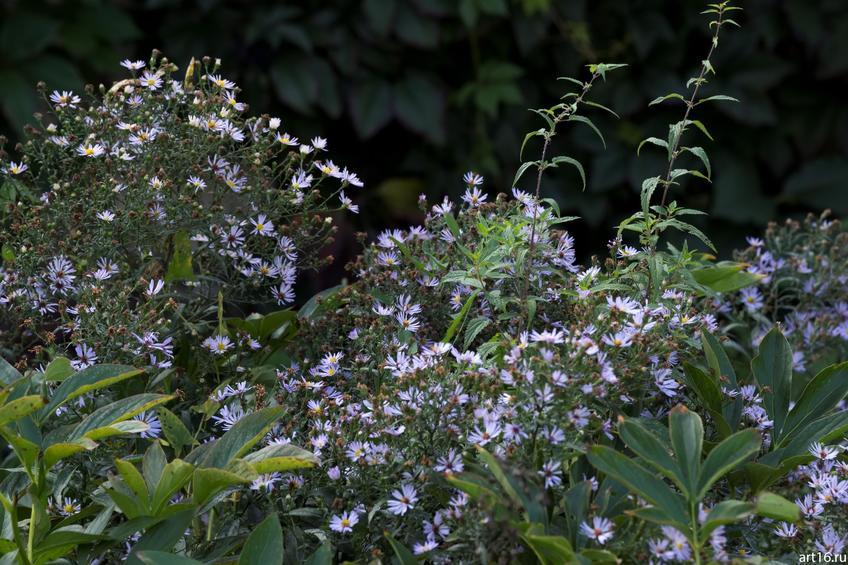 Фото №897590. Синяя садовая ромашка