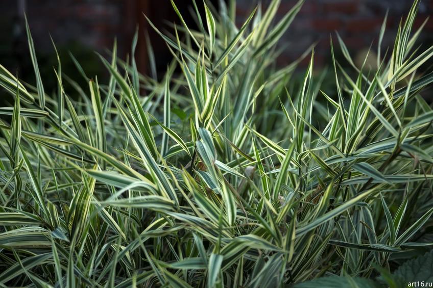 Декоративная трава::Зарисовки. Природа