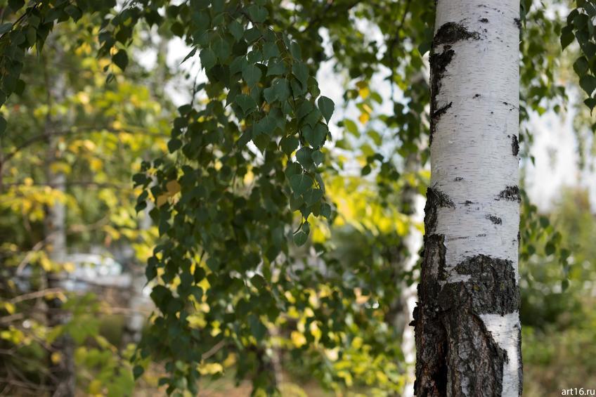 Фото №897654. Береза ранней осенью
