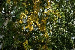 Береза, осень