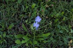Цветок цикория