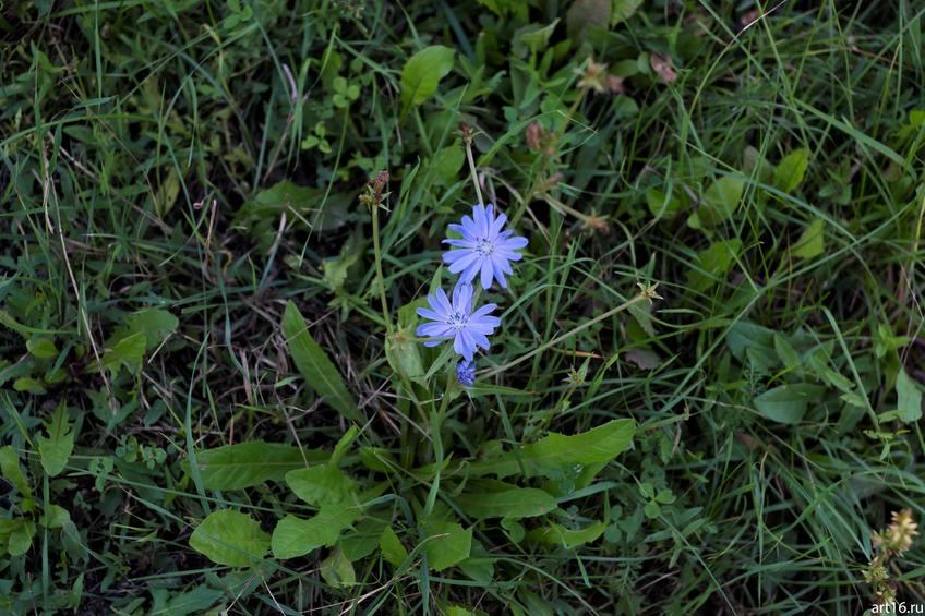 Фото №897702. Цветок цикория