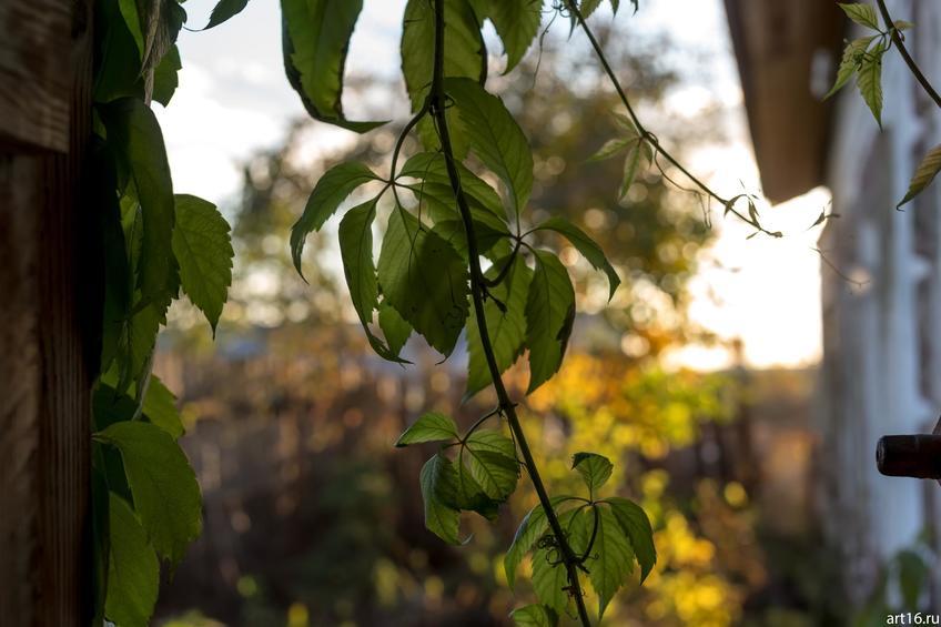 Фото №897721. Дикий виноград