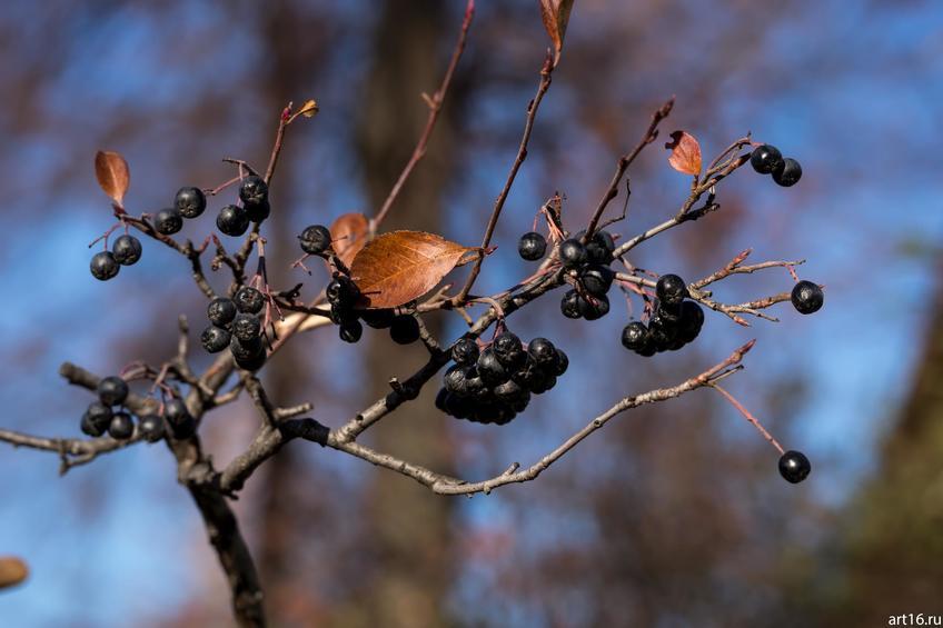 Черноплодная рябина::Зарисовки. Природа