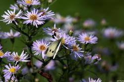 Капустница на цветке синей садовой ромашки