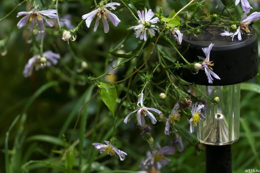 Синяя садовая ромашка, фонарь::Зарисовки. Природа