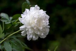 Белый пион
