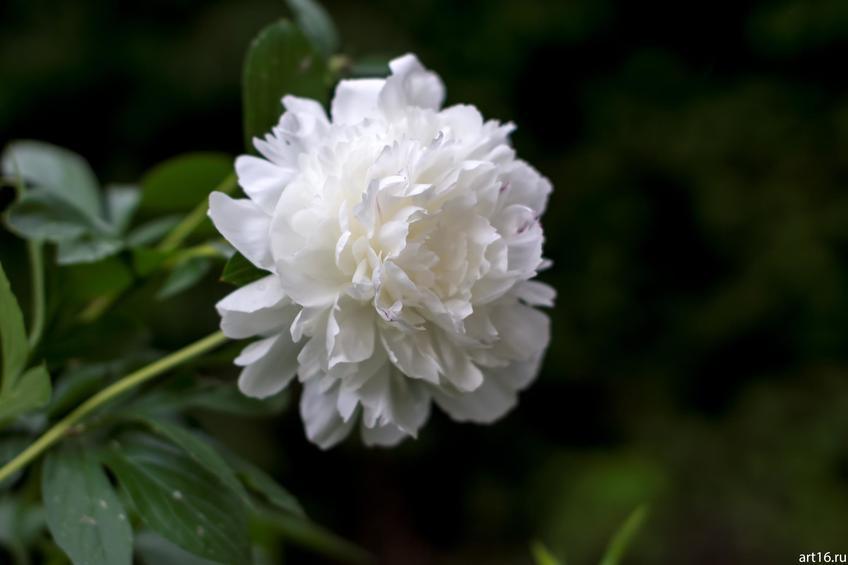 Фото №897821. Белый пион