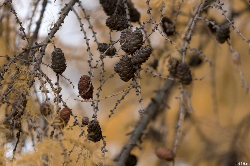 Фото №897881. Шишки, лиственница. осень