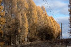 Лиственичный лес. Осень